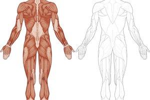 Datos del sistema muscular para niños