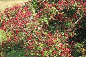How to Make Hawthorne Berry Syrup