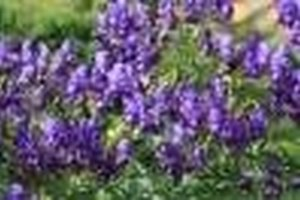 What Is Aconitum Napellus Used for?