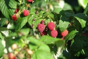 How to Make Raspberry Juice Concentrate