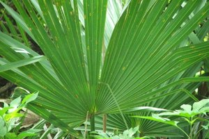 Why Should Women Not Take Saw Palmetto?