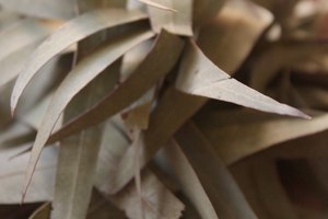 How to Make Eucalyptus Oil from a Leaf