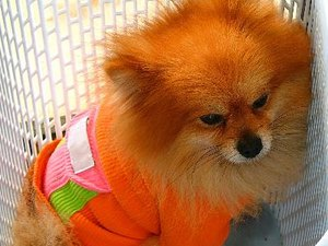 how to take care of a pomeranian puppy how to care for newborn pomeranian puppies pets 378