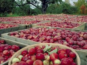 Are Too Many Apples Bad for Your Digestive System?