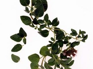 Oil of Oregano Dangers & Benefits