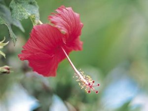 The Minerals in Hibiscus Tea