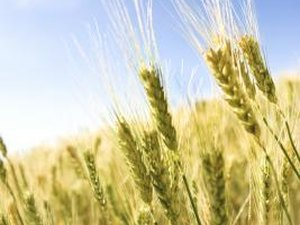 Why Is It Good to Invest in Wheat Commodities?