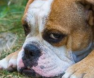 How To Prevent Bloat In Dogs Daily Puppy