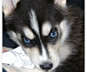 Why Do Husky Dogs Have Blue Eyes Dog Care Daily Puppy