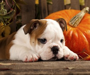 Can You Feed Raw Pumpkin To Dogs