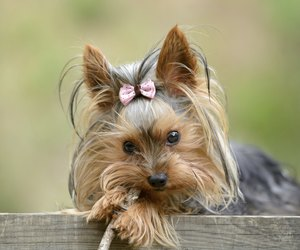 When Is a Yorkie Puppy Full-Grown? | Dog Care - Daily Puppy