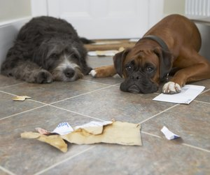 Do Dogs Get Their Period After Being Spayed