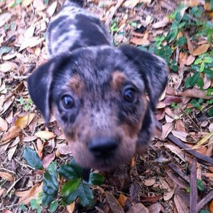 Your Fabulous Catahoula Leopard Dogs Have Arrived!   Daily Puppy
