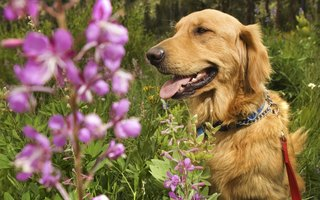 Are Bleeding Heart Plants Poisonous to Dogs?