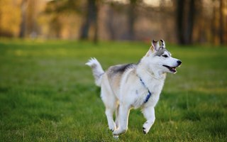 10 Things to Know Before Adopting a Siberian Husky