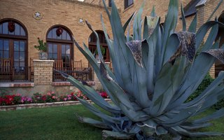 Is Agave Americana Poisonous to Dogs?