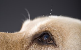 What Are the Treatments for Uveitis in Dogs?