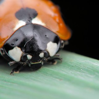 How to Keep Ladybugs as Pets