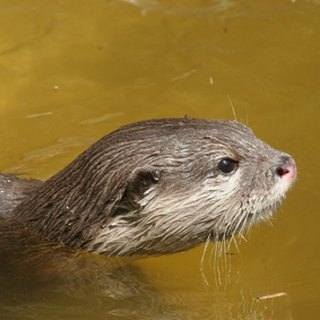River Otters & Rabies