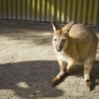 How to Own a Pet Wallaroo