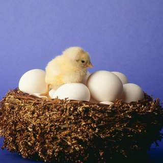 Do Chickens Have to Copulate for an Egg to Hatch?