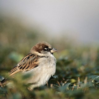 What Kind of Habitat Do Sparrows Live In?
