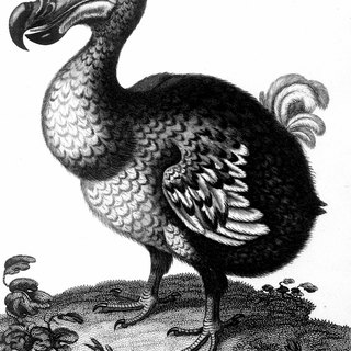 Description of a Dodo