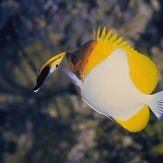 The History of the Pyramid Butterflyfish