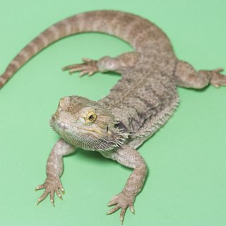 The Difference Between Bearded Dragons & Flat-Headed Agama Lizards