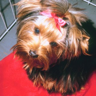 How to Stimulate Hair Growth in a Yorkie