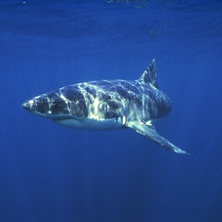Adaptations of Great White Sharks