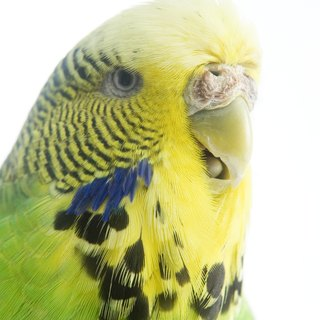 Budgies as Pets for Kids
