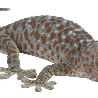 How Do Geckos Protect Themselves?