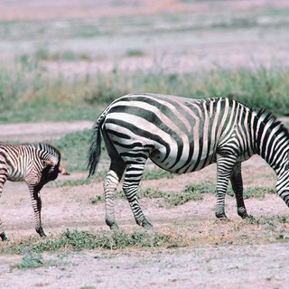 Can a Horse & Zebra Reproduce?