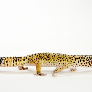 Can Leopard Geckos Eat Anything Other Than Bugs?