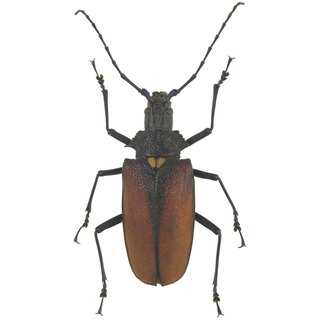 List of Flying Brown Beetles
