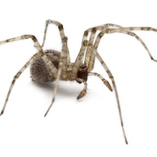 What Are Some Common Spiders in Montana?