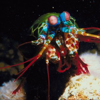 The Physical Characteristics of the Peacock Mantis Shrimp