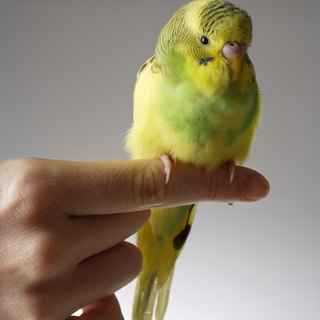 How to Care for New Born Baby Parakeets