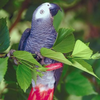 Gestation Period for African Grey Parrot Eggs
