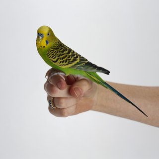 How to Hand-Train Your Budgie