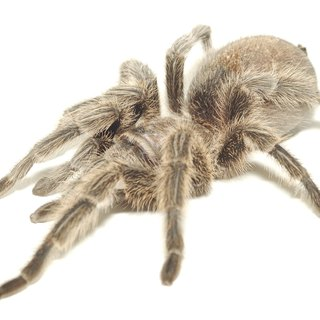 Pet Tarantula Spiders Diet