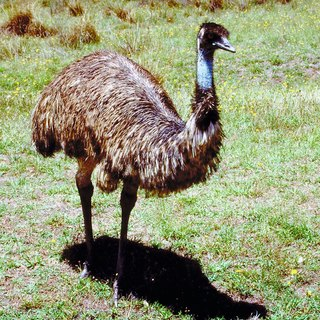 Why Can't an Emu Fly?