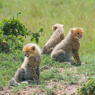 About Baby Cheetahs