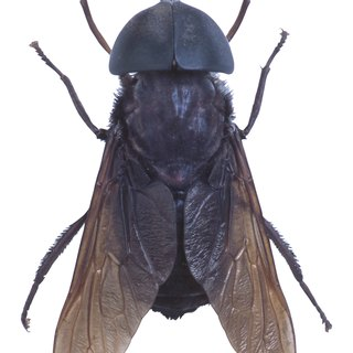 What Attracts Horseflies?