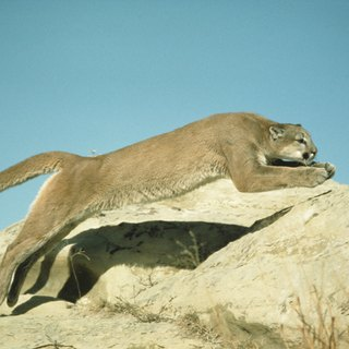 Land Speed of a Puma