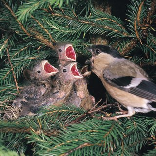 How to Care for House Finch Babies