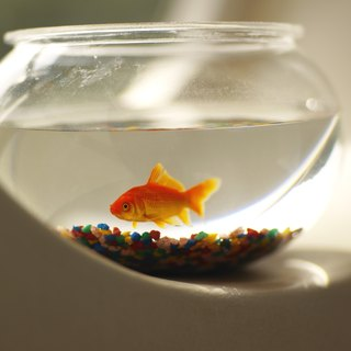 What Will Make a Goldfish Grow Faster?
