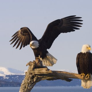 Difference Between Male & Female Bald Eagles