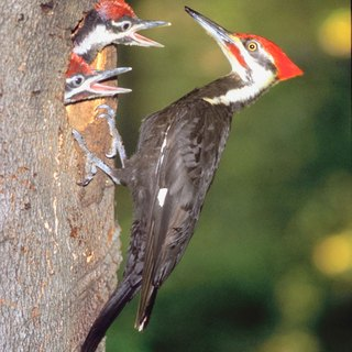 The Difference Between Female & Male Pileated Woodpeckers